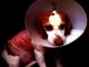 hls-beagle
