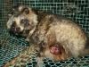raccoon_1